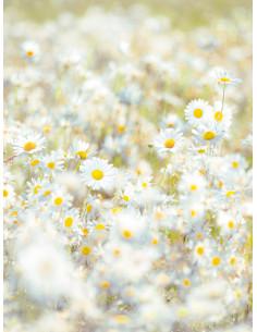 Фототапет с бели маргарити Daisies-1